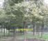 重庆城口林场评估 金丝楠木评估 樱桃评估