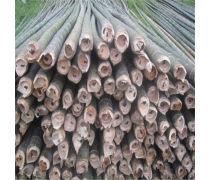 河北工程绿化苗木竹类植物楠竹 庭院盆景青竹子苗批发