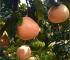 土豪金金桔蜜柚苗哪里有_�S金蜜柚苗出售