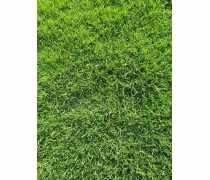 佛山台湾草,草坪基地种植