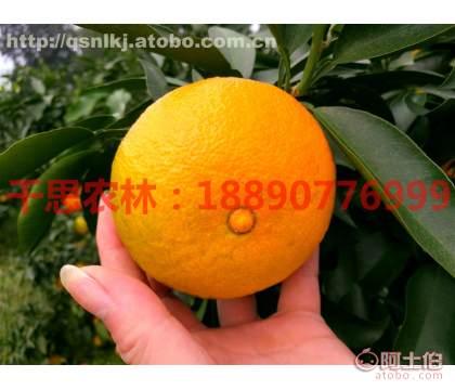 湖南�坻�38�柑橘基地、�坻�38�t美人柑橘苗、�坻�38行情