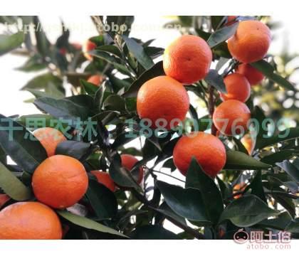 广西南宁种植世纪红苗比湖南常德世纪红柑橘品质好