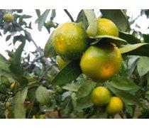福建种植特早熟柑橘苗成熟早果型好成熟期比湖南提前一个月