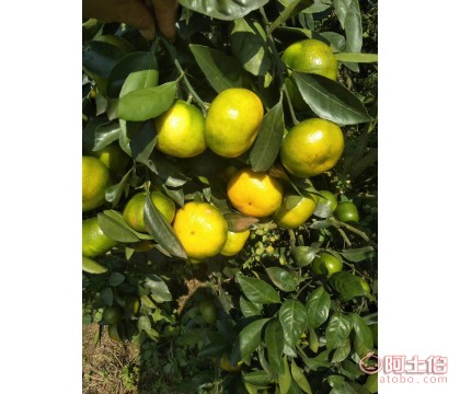 常德特早熟大分苗柑橘苗基地 一年生大分早熟柑苗