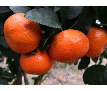 贵州种植早熟砂糖橘苗高度30-80cm全国包邮保湿保鲜包成活
