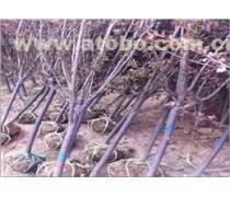 想要�N量好的紫�~李就�砗�墒芯傍�苗木基地??12公分紫�~李�r格