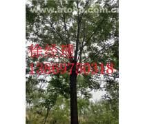��槐���x菏�墒芯傍�苗木基地 易成活的��槐