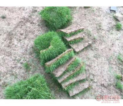 海南省台湾草
