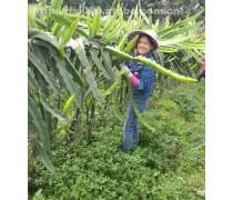 广州燕窝果苗新品种