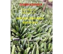 广州双色火龙果苗专业种植