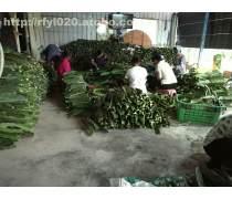 广州出售台湾火龙果苗