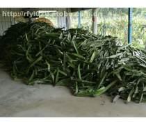 广州新品火龙果苗种植