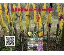 黄皮火龙果苗,厄瓜多尔燕窝果苗,以色列无刺黄龙果苗