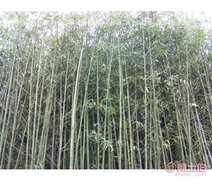 适合做绿篱的竹子供应.斑竹种植基地.出售大量的工程用竹
