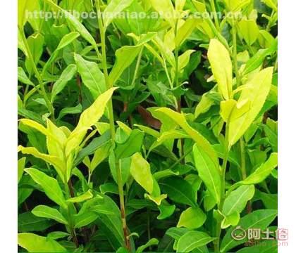 【�S金茶苗�r格】0.4元茶苗米��3公分地��3公分高度25公分