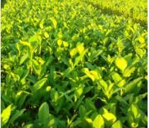 贵州中黄一号茶苗批发%中黄1号黄金茶