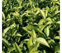 湖南中黄一号茶苗包活 高品质正宗中黄1号茶树苗