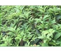 攀枝花虫茶茶苗市场价&保健茶虫茶茶苗出售