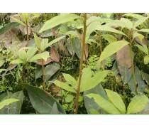 自贡虫茶茶苗品种齐全%虫茶是什么