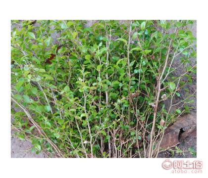 河池马甲子苗如何种植%马甲子铁篱笆苗批发销售