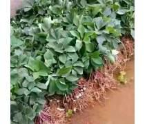 【保山虫楼种植园种苗|现货供应_品种】