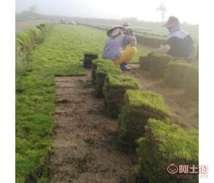 海南三��夏威夷草皮供��商 海南夏威夷草�B殖方法