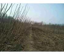 【纯正品种山楂树】东营种植基地高产量品种