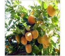 珠海成活率高柿子树批发商_哪里有卖