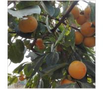 深圳新品种柿子苗销售部_哪里有卖