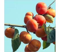 东莞易活易种植柿子苗批发商_高回头率柿子苗