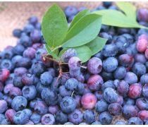 海南成活率高蓝莓苗批发