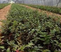 琼海易活易种植商家 哪里有卖蓝莓苗