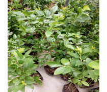 五指山品种齐全蓝莓苗种植园