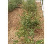 海口蓝莓苗种植园批发_成活率高蓝莓苗