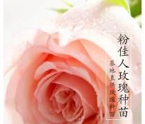 夏春玫瑰�r花�N苗粉佳人玫瑰花�N苗木�G化工程苗木一年生玫瑰花小苗