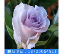 夏春�徜N冷美人玫瑰花苗新�r月季花卉�N苗盆栽花卉苗基地直�N