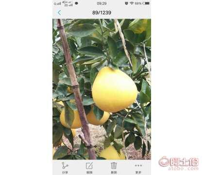 重庆新品种柚子苗价格|重庆新品种柚子苗批发