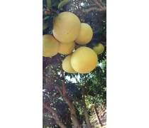 贵州柚子苗木基地直销树苗批发