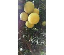贵州柚子树苗批发厂家直销