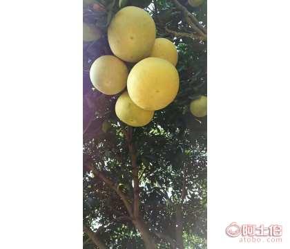 海南纯种果树柚子苗#海南种植园批发