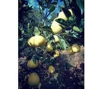 六盘水柚子苗木厂家直销_哪里有卖柚子