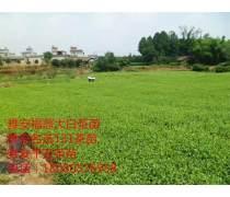 中茶108茶苗,中茶108茶苗省农科院创业孵化基地