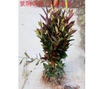 紫鹃茶苗,紫鹃茶苗特色茶树品种培育基地