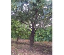 淄博出售0.6-1.2米嫁接山楂树批发商#成活率高品种好