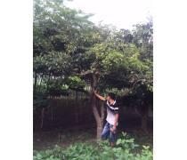 烟台山楂树直销#种植园低价直销_成活率高