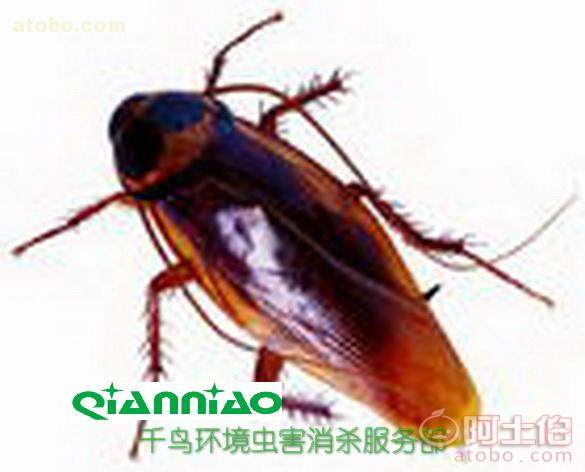 专业家庭灭蟑螂,工厂除蟑螂,公司灭蟑 大图