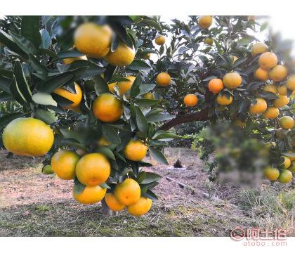 贵州种植由良蜜桔效益高于大分早熟柑橘 糖度高入口化渣