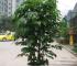 室内盆栽绿宝树在兴辉苗木基地长期批发
