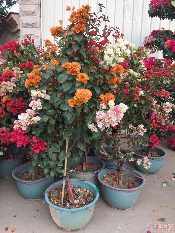 多色三角梅盆栽优质供应,低价销售