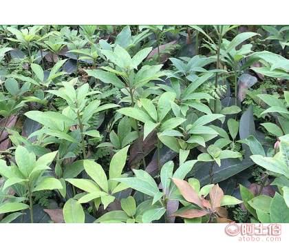 泸州虫茶茶苗销售_虫茶茶苗多少钱